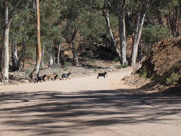 Feral Goats in Parachilna Gorge
